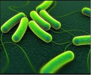 membunuh bakteri tipus menggunakan madu