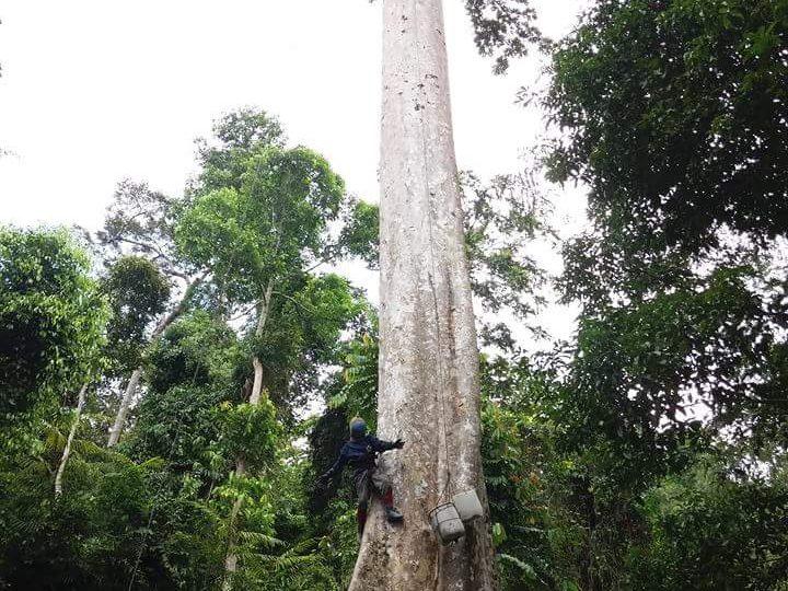 pohon sialang tempat lebah apis dorsata hinggap dan menghasilkan madu hutan